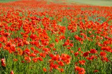 Free Poppy Field Stock Photo - 14755960