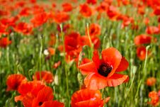 Free Poppy Field Royalty Free Stock Photo - 14755995