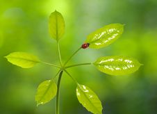 Ladybird On Green Leaf With Blurred Background Royalty Free Stock Photography