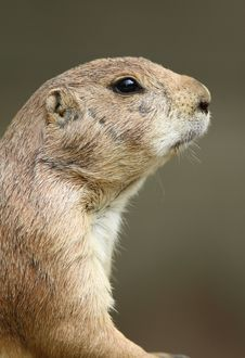 Free Portrait Of A Prairie Dog Royalty Free Stock Image - 14756396