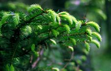 Free Pine Needles Stock Photos - 14756583