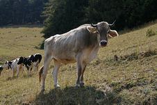 Free Alps Cattle At The Monte Baldo Royalty Free Stock Photos - 14757028