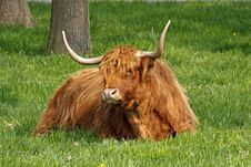 Free Highland Cattle, Kyloe Stock Photo - 14757150