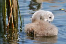 Free Cute Swan Chicks Royalty Free Stock Photography - 14757417