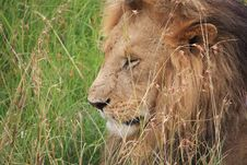 Free Thoughtful Lion Stock Photography - 14757752