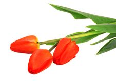 Three Red Tulips Stock Photography