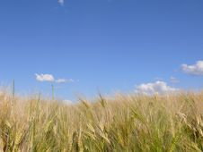 Free Barley Field Royalty Free Stock Images - 14757899