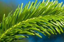 Free Pine Tree Branch Royalty Free Stock Image - 14758166