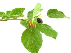 Free Mulberry On Branch Stock Photo - 14758220