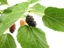 Free Berry Of The Mulberry Stock Photo - 14758240
