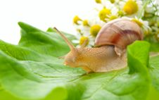 Free Snail Creeping On Leaf With Camomiles Royalty Free Stock Photos - 14758298