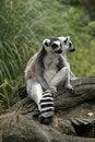 Free Two Ring-tailed Lemurs Stock Image - 14763561