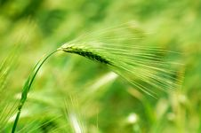 Free Wheat Stock Photo - 14760260