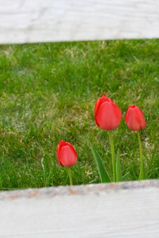 Wood Fence Framed Tulips Royalty Free Stock Photography