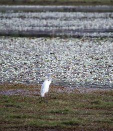 Free Egret, Water Bird Stock Photos - 14761163