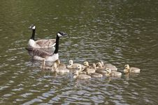 Geese S Family Royalty Free Stock Photo