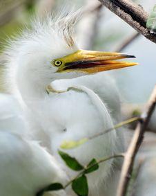 Free Juvenile Egret Stock Image - 14761771