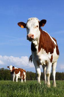 Free Cow Stock Photos - 14761833