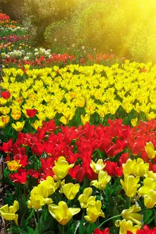 Free Garden Of Tulips Stock Photo - 14762290