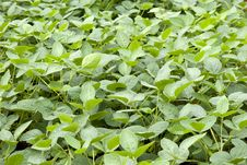Free Beans Field Stock Image - 14762931
