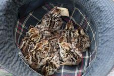 Free Grey Partridge (Perdix Perdix) Stock Photo - 14763220