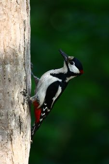 Free Woodpecker Stock Images - 14763734