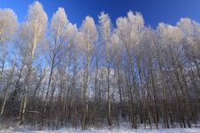 Free Forestry Silver. Royalty Free Stock Images - 14763839