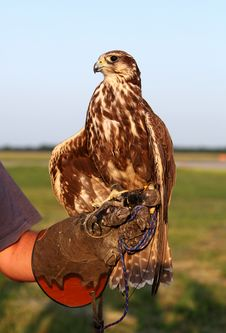 Falconer With Falcon Stock Photo