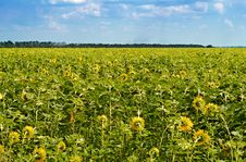 Free Field Of Sunflowers Stock Images - 14766354