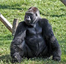 Free Gorilla Royalty Free Stock Photography - 14767857