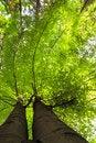 Free Green Beech Royalty Free Stock Photos - 14772258