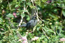 Free Gray Catbird Royalty Free Stock Image - 14770346