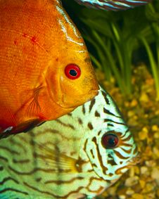 Free Two Discus Fish Stock Image - 14770421
