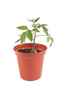 Free Organic Tomato Stock Photo - 14770480