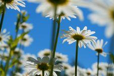 Free White Chamomiles Stock Image - 14771341