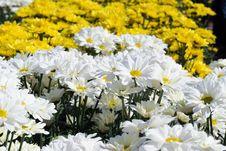 Free White Daisy Flower Stock Image - 14771881