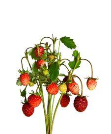 Free Wild Strawberry Royalty Free Stock Photography - 14772467