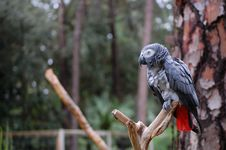 Free African Grey Parrot II Stock Photos - 14773533