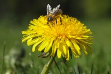 Free Honey Bee Yellow Dandelion Royalty Free Stock Photography - 14773667