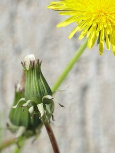 Free Yellow Dandelion Stock Image - 14773681