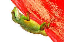 A Lizard Climbing Royalty Free Stock Photography