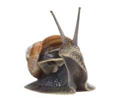 Free Edible Snail Royalty Free Stock Photos - 14773808