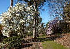 Free Flowering Magnolia Tree Stock Photo - 14773870