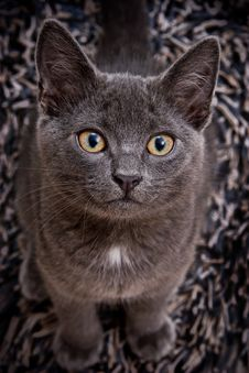 Free Cute Gray Cat Stock Images - 14774314