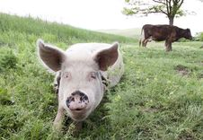 Free Pig And Cow Royalty Free Stock Photography - 14774797