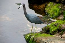 Free Little Blue Heron Stock Photo - 14775070