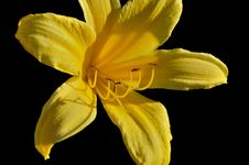 Free Yellow Lily In The Sunlight Royalty Free Stock Photo - 14775445