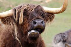 Free Dreadlocked Yak Royalty Free Stock Photography - 14776037