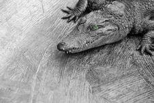 Baby Crocodile Stock Image