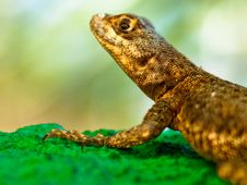 Free Small Lizard Royalty Free Stock Image - 14776246